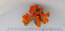 画像5: 《近海産海洋生物類》エントウキサンゴ(画像の個体です)…長期間育成個体
