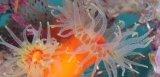 《近海産海洋生物類》エントウキサンゴ…長期間育成個体