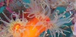 画像1: 《近海産海洋生物類》エントウキサンゴ…長期間育成個体