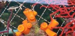 画像2: 《近海産海洋生物類》エントウキサンゴ…長期間育成個体