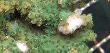 《近海産海洋生物》ミドリイシ(グリーン系)