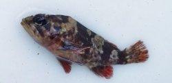 画像2: 《近海産》タケノコメバル(画像の個体です)…ハンドコート採取