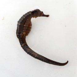 画像4: 《近海産》タカクラタツ(画像の個体です)…ハンドコート採取