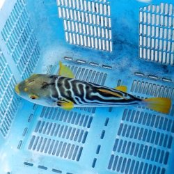 画像4: 《近海産海水魚》☆★綺麗★☆シマフグ(Mサイズ)‥状態良好(3月3日ハンドコート)