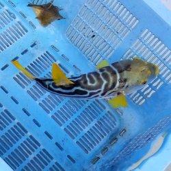 画像5: 《近海産海水魚》☆★綺麗★☆シマフグ(Mサイズ)‥状態良好(3月3日ハンドコート)