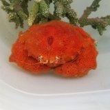 《近海産甲殻類》カイカムリ(画像の個体です)…ハンドコート採取