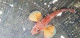 《近海産》カナガシラ(数週間ストック個体でおススメです)…ハンドコート採取