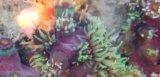 《近海産海洋生物類》ナンヨウキサンゴ(画像の個体です)