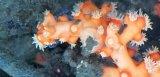 《近海産海洋生物類》ボシュマキサンゴ(画像の個体です)