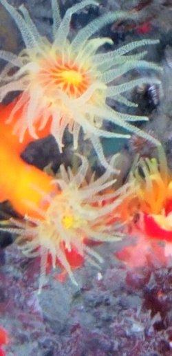 画像1: 《近海産海洋生物類》エントウキサンゴ(画像の個体です)