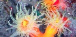 画像4: 《近海産海洋生物類》エントウキサンゴ(画像の個体です)