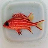 《近海産海水魚》アヤメエビス‥画像の個体です
