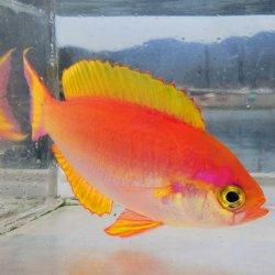 画像1: 《近海産海水魚》シキシマハナダイ(SMサイズ)…ハンドコート採取