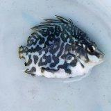 《近海産海水魚》【珍サイズ】ツボダイ幼魚(ブルー系体色)…ハンドコート採取(画像の個体です)