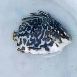 画像1: 《近海産海水魚》【珍サイズ】ツボダイ幼魚(ブルー系体色)…ハンドコート採取(画像の個体です)