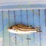 《近海産海水魚》コトヒキ…当店ハンドコート採取
