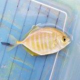 《近海産海水魚》カイワリ幼魚…ハンドコート採取