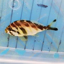 画像1: 《近海産海水魚》ミギマキの幼魚☆★激レアサイズ☆★…当店ハンドコート採取