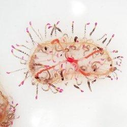 画像4: 《近海産海洋生物類》ハナガサクラゲ(2匹セット)…ハンドコート採取
