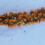 《近海産海洋生物》ムチカラマツ(カット物)…画像のポリプ色です