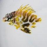 《近海産海水魚》【激レアサイズ】ツボダイ幼魚…ハンドコート採取