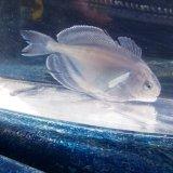 《近海産海水魚》ハナビラウオ幼魚…ハンドコート採取