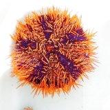 《近海産海洋生物》シラヒゲウニ(オレンジ系)…ハンドコート採取