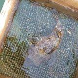 《近海産海水魚》モヨウフグ(Lサイズ)…ハンドコート採取