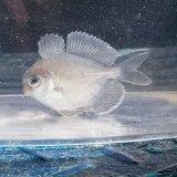 《近海産海水魚》ハナビラウオ幼魚(S)…ハンドコート採取