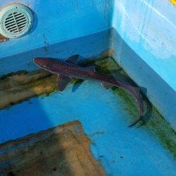 画像1: 《近海産海水魚》ホシザメ(Mサイズ)…ハンドコート採取