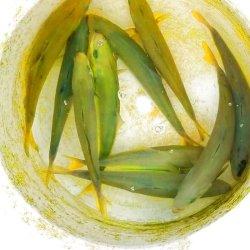 画像3: 《近海産海水魚》ブリ幼魚(14〜17)の2匹セット…ハンドコート採取