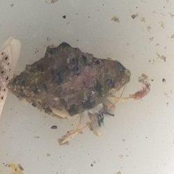 画像3: 《近海産甲殻類》ウスイロサンゴヤドカリ…当店ハンドコート採取