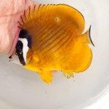 《近海産海水魚》ツキチョウチョウウオ…ハンドコート採取