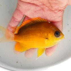 画像2: 《近海産海水魚》コガネスズメダイ…ハンドコート採取