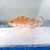 《近海産海水魚》メバル幼魚(1匹)茶系…ハンドコート採取
