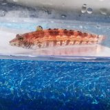 《近海産海水魚》コウライトラギス(画像の個体です)