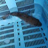 《近海産海水魚》ショウサイフグ?(画像の個体です)‥ハンドコート採取