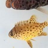 《近海産海水魚》★希少サイズ黄色★イシガキダイのベビーの2匹セット・・ハンドコート採取