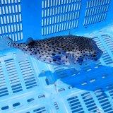 《近海産海水魚》☆★☆イシガキフグのカラーバリエーション(珍色)…ハンドコート採取