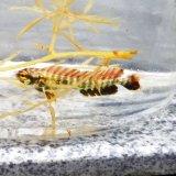 《近海産海水魚》☆★☆シイラ幼魚(3〜5センチ±)1匹…当店ハンドコート採取