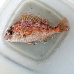 画像2: 《近海産海水魚》マダイ(S)…ハンドコート採取