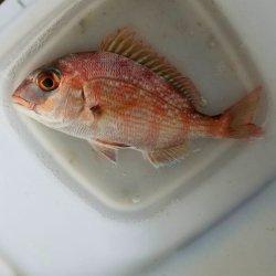 画像4: 《近海産海水魚》マダイ(S)…ハンドコート採取