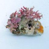 《近海産海洋生物》サンゴモドキ(画像の個体です)…ハンドコート採取