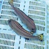《近海産海水魚》コロダイ…ハンドコート採取