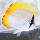 《近海産海水魚》☆★熊野灘産のコクテンカタギ(餌爆食い)状態極上・・・近海ハンドコート採取
