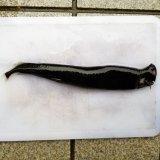 《近海産深海魚》☆☆ホテイエソ科の1種(冷凍個体)…☆★発光器赤色【激珍】