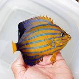 《近海産海水魚》キンチャクダイ(状態S)…近海ハンドコート採取
