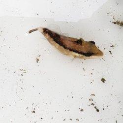 画像1: 《近海産海水魚》ツマジロモンガラ 幼魚…ハンドコート採取
