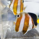 《近海産海水魚》ゲンロクダイ(1匹)…ハンドコート採取