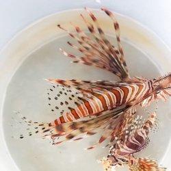 画像1: 《近海産海水魚》ハナミノカサゴ…ハンドコート採取